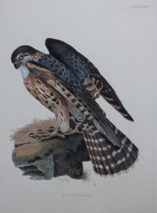 Merlin, Female by PJ Selby 1821