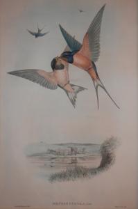 Hirundo Rustica lithograph by Johnn Gould @ 1862