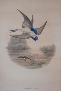Chelidon Urbica lithograph by John Gould @ 1862