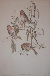 Aegiothus Linaria lithograph by John Gould @ 1862
